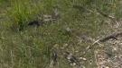Feathers near Innisfail following geese deaths