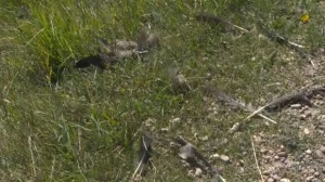 Feathers near Innisfail following geese deaths
