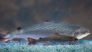 This undated 2010 file handout photo provided by AquaBounty Technologies shows two same-age salmon, a genetically modified salmon, rear, and a non-genetically modified salmon, foreground. (THE CANADIAN PRESS/AP Photo/AquaBounty Technologies)