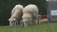 Sheep graze in a park in Montreal on July 26, 2017
