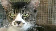 Crabby kitty turning heads at Duncan SPCA