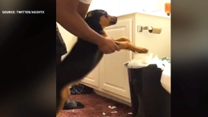 Owner makes dog clean up its mess