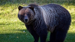 Bear 148, seen here in an undated handout photo, is a grizzly in the Banff area whose repeated human contacts are threatening its future. (THE CANADIAN PRESS/HO-Parks Canada, Alex P. Taylor)