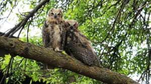 Pair of sleepy owls perched up on a tree. Photo by Brendan Bain.