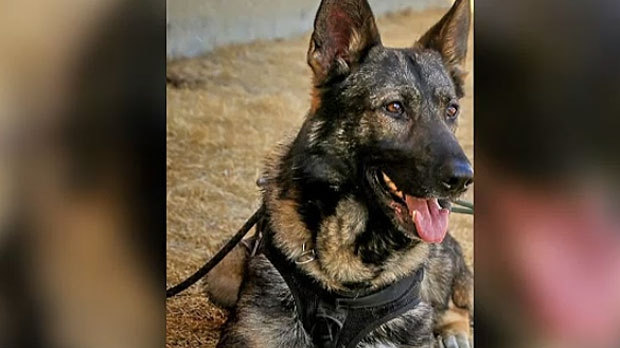 Jester, a six-year-old German Shepherd, was stabbed several times in the head by a young offender in northeast Calgary on Sunday, July 30, 2017 (image: CPS)