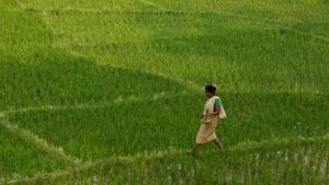 An Indian woman farmer walks in a paddy field in Panbari village on the outskirts of Gauhati, India, Saturday, Feb. 18, 2017. More than 70 percent of India's 1.25 billion citizens engage in agriculture. (Anupam Nath/AP Photo)