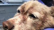 Rascal, a 14-year-old terrier, was dropped off at the Nanaimo SPCA last week covered in hundreds of thousands of fleas. Aug. 1, 2017. (CTV Vancouver Island)