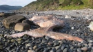 Fisheries officials say a dead right whale, shown in this undated handout image, washed up on a rocky shore on the west coast of Newfoundland. (THE CANADIAN PRESS/HO-Fisheries and Oceans Canada)