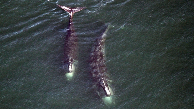 In this Feb. 14, 2017 photo provided by the Center for Coastal Studies, a pair of right whales feed just below the surface of Cape Cod Bay off shore from Provincetown, Mass. (THE CANADIAN PRESS/AP-Center for Coastal Studies via AP)