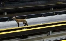 Red fox on tracks of Montreal McGill Metro station