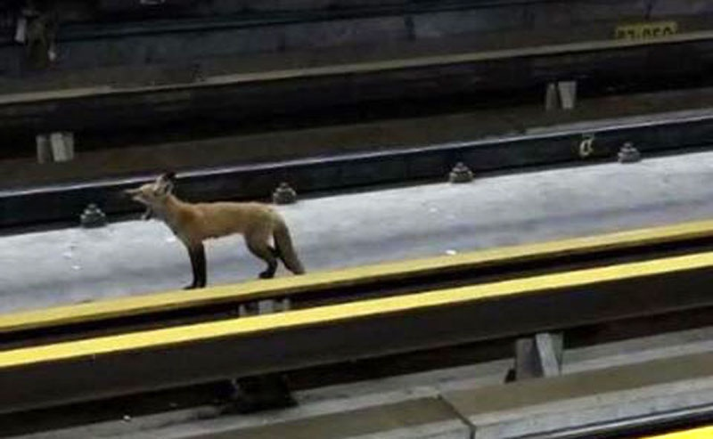 The photo of the red fox on the tracks of the Montreal McGill Metro station. (Spotted: Montreal / Facebook)