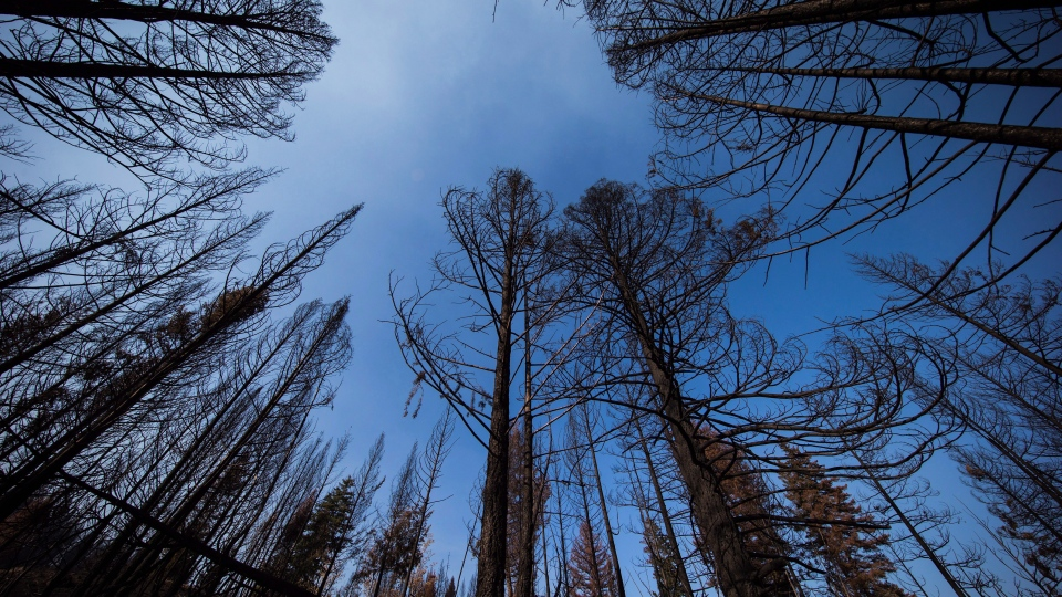 Trees burned by a wildfire are seen in Williams Lake, B.C., on Monday, July 31, 2017. (THE CANADIAN PRESS/Darryl Dyck)