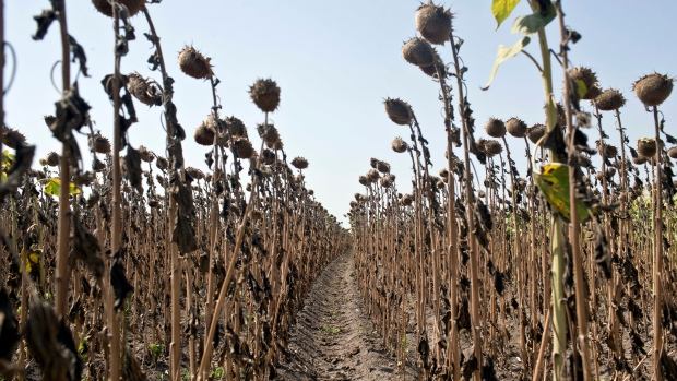 Sunflowers decimated by drought are seen in a field in Padina, Serbia, Thursday, Aug. 10, 2017. (AP Photo/Marko Drobnjakovic)