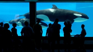 Tourists line up at a viewing area to see one of Marineland's newer attractions, a Killer Whale calf swimnming with its mother in Niagara Falls, Ont. on Wednesday July 18, 2001. (CP PHOTO/Scott Dunlop)