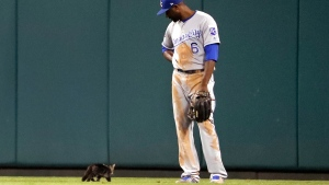 Kansas City Royals center fielder Lorenzo Cain watches as a cat runs past during the sixth inning of the team's baseball game against the St. Louis Cardinals on Wednesday, Aug. 9, 2017, in St. Louis. (AP / Jeff Roberson)