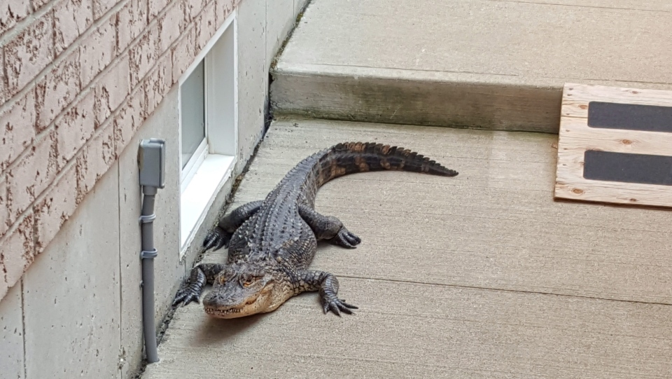 An alligator is shown in the yard of the home of Walter Ertsinian in Hamilton, Ont., in this photo provided on August 8, 2017. (HE CANADIAN PRESS/HO - Walter Ertsinian)