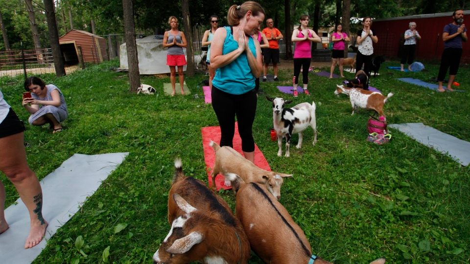 In this photo taken July 19, 2017, Heather Carlson participates in a goat yoga session at Oak Hollow Acres Farm in Burlington, Wis. (AP Photo/Carrie Antlfinger)