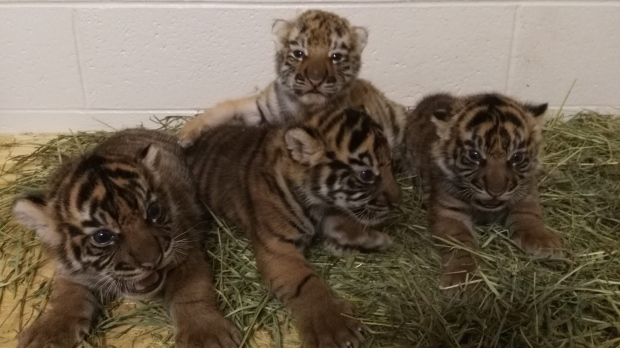 Oklahoma tiger cubs