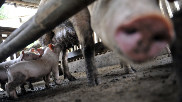 Scientists gene-edit piglets, bringing transplants to humans closer