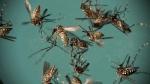 In this Sept. 29, 2016 file photo, Aedes aegypti mosquitoes, responsible for transmitting Zika, sit in a petri dish at the Fiocruz Institute in Recife, Brazil. (AP Photo/Felipe Dana, File)