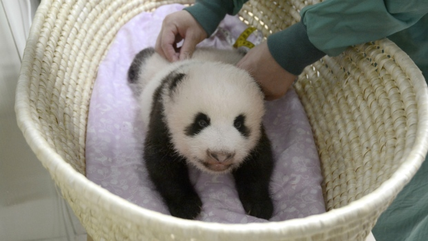 Baby giant panda in Tokyo