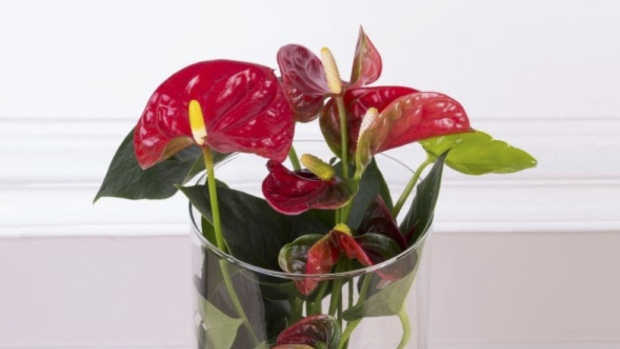 Anthurium is shown in this file photo. (Caprive de fleurs)