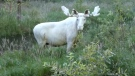 The rare white moose was spotted in Varmland County in western Sweden on Aug. 11.