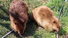 Beavers at AIWC