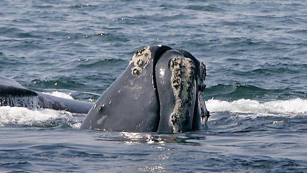 North Atlantic right whale