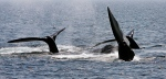 In this April 10, 2008 file photo, a ballet of three North Atlantic right whale tails break the surface off Provincetown, Mass., in Cape Cod Bay. (AP Photo/Stephan Savoia, File)