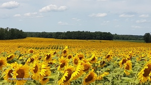 Acres of Sunflowers. (Claira Bastien/CTV Viewer)