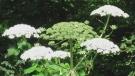 Toxic, invasive giant hogweed plant spreading