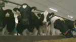 Sask. dairy producers watch NAFTA negotiations