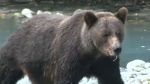 New rules regarding grizzly bear hunts in B.C.