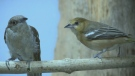 Bullock's oriole at Ottawa Wild Bird Care Centre.