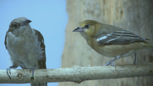 Bullock's oriole at Ottawa Wild Bird Care Centre.