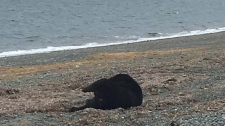 Conservation officers are investigating after a bear was decapitated and dumped on a Haida Gwaii shoreline. (Facebook)