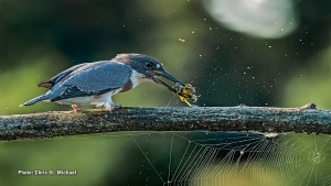 This Belted Kingfisher was softening up a crayfish before swallowing it by smashing it against a limb. (Chris St. Michael/CTV Viewer)