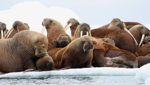 In this July 17, 2012, file photo, adult female walruses rest on an ice flow with young walruses in the Eastern Chukchi Sea, Alaska. (S.A. Sonsthagen/U.S. Geological Survey via AP, File)