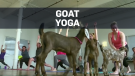 Yoga studios offer 'therapeutic goats'
