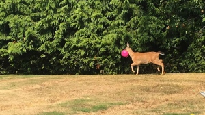 Reports of a deer with a pink, plastic jack-o-lantern muzzling its face had been surfacing in the Sooke area for up to a week. Aug. 11, 2017. (Submitted)