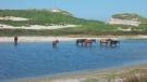 Wild horses are seen on Nova Scotia's Sable Island. (COURTESY SANDRA BREWER)