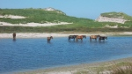 Wild horses are seen on Nova Scotia's Sable Island. (COURTESY SANDRA BREWER)