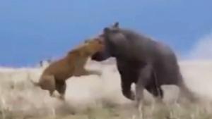 LION VS. HIPPO