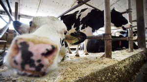 A vocal contingent of American farmers actually supports the Canadian system of price-and-import controls and wants their national negotiators to leave the Canadian system alone instead of fighting it as expected. Dairy cows are shown in a barn on a farm in eastern Ontario on Wednesday, April 19, 2017. (THE CANADIAN PRESS/Sean Kilpatrick)