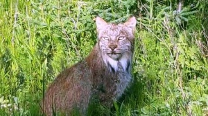 Beautiful Lynx spotted at Cross Lake. Photo by Merv Trout.