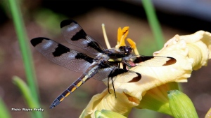 Dragonfly taking a break on a flower. (Waybe Newby/CTV Viewer)
