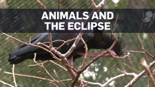 Eclipse animals