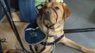 Calgary - Service dog