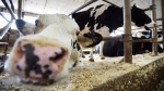 A vocal contingent of American farmers actually supports the Canadian system of price-and-import controls and wants their national negotiators to leave the Canadian system alone instead of fighting it as expected. Dairy cows are shown in a barn on a farm in eastern Ontario on Wednesday, April 19, 2017. THE CANADIAN PRESS/Sean Kilpatrick